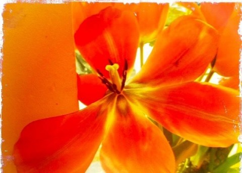 barbara-sinclair-orange-tulips-copy