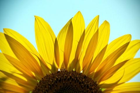 sunflower-2071186_1280