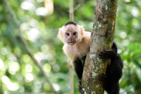 cebus-monkey-picture-id842647104
