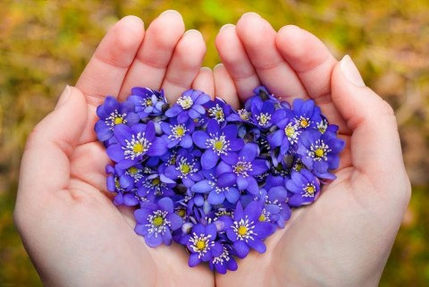 cupped-hands-holding-spring-violet-flowers-in-heart-shape-picture-id655101628