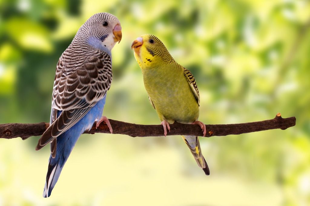 budgies-are-in-the-roost-on-the-green-background-picture-id682216822