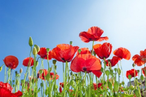 poppies-flowers-on-summer-field-picture-id495780201