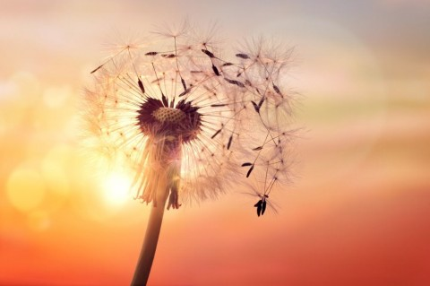 dandelion-silhouette-against-sunset-picture-id537716906