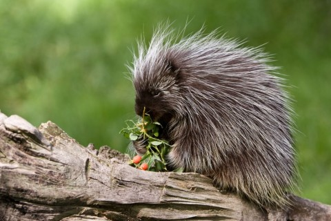 porcupine-eating-on-a-tree-branch-picture-id134535226