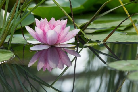 pink-lotus-flower-on-a-pond-picture-id580088194