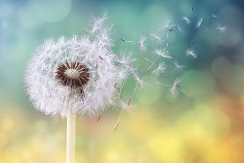 dandelion-clock-in-morning-sun-picture-id665037880