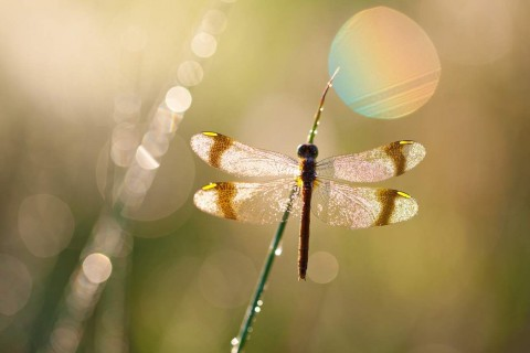 drgonfly