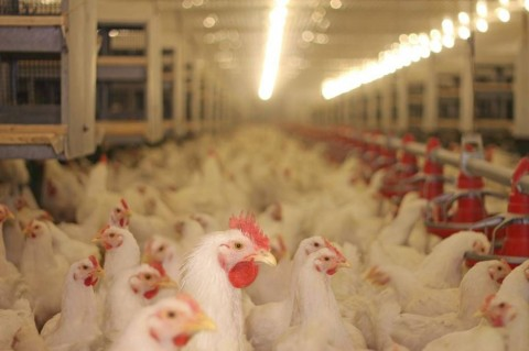 chicken-farm-picture-id893123788