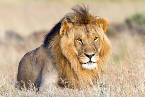 lionpresence