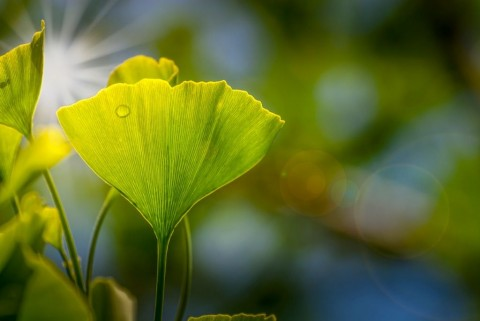ginko-leaves-picture-id946637812