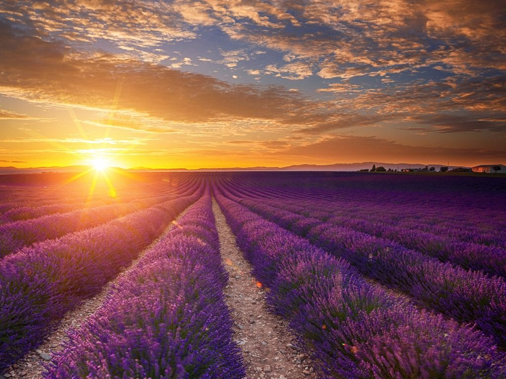 lavender-field-at-sunset-picture-id468877651