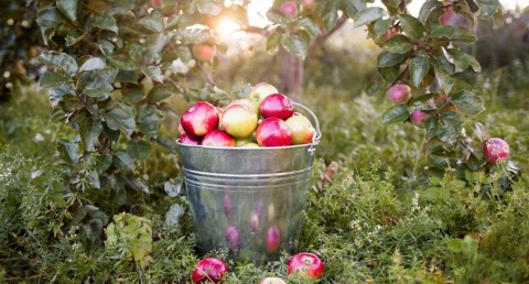 bucket-with-ripe-apples-in-sunset-garden-picture-id518833646