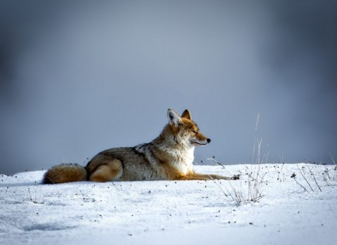 coyote-1024x746