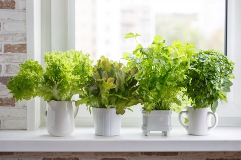 fresh-aromatic-culinary-herbs-in-white-pots-on-windowsill-lettuce-picture-id1064116816