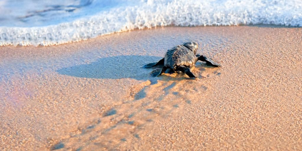 new-born-sea-turtle-walking-to-the-sea-picture-id1163483172