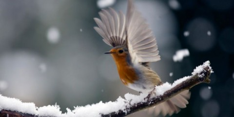 robin-picture-id174805606