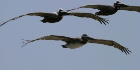 3pelicansflying