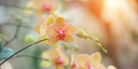 yellow-phalaenopsis-orchid-picture-id507116932
