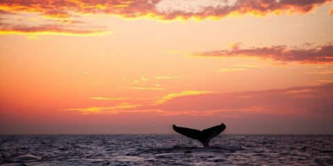 tail-fin-from-diving-humpback-whale-at-sunset-picture-id185327720