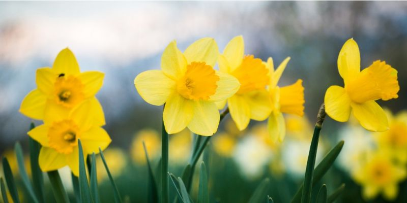daffodils-field-picture-id665377164