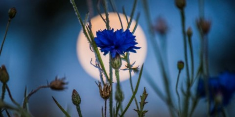 full-moon-and-cornflower-picture-id951247010
