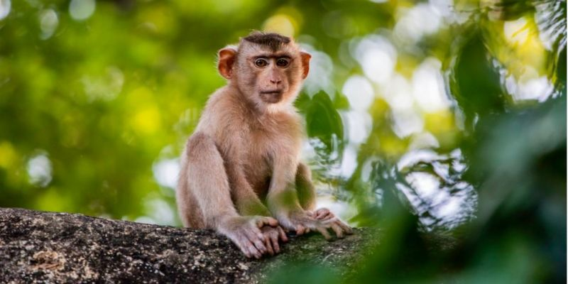 baby-macaque-monkey-picture-id1142957157
