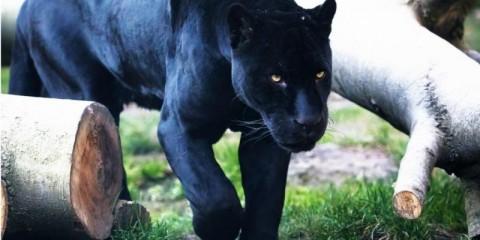 black-jaguar-picture-id1214458772
