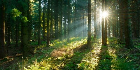 sunbeams-breaking-through-spruce-tree-forest-at-sunrise-picture-id498371910