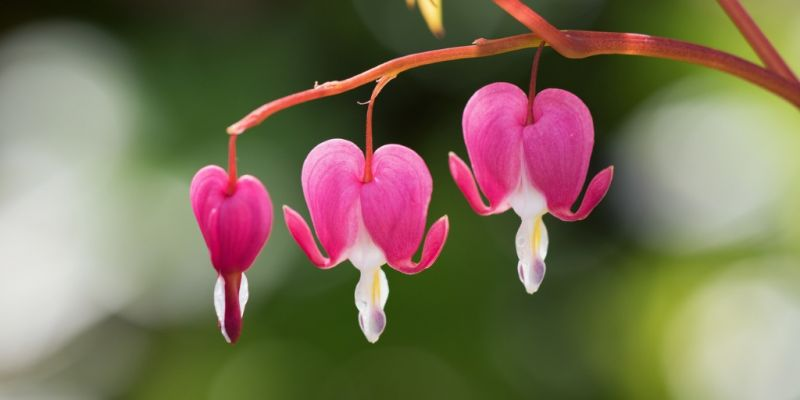 bleeding-heart-flowers-picture-id669064378