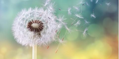 dandelion-clock-in-morning-sun-picture-id665037880