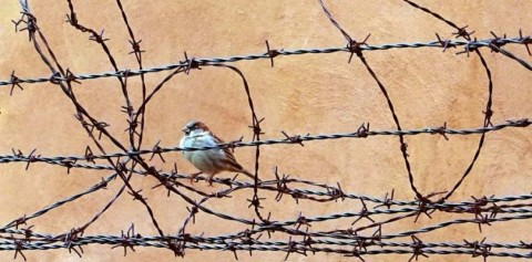 house-sparrow-sitting-with-a-tangle-of-barbed-wire-picture-id1212648346