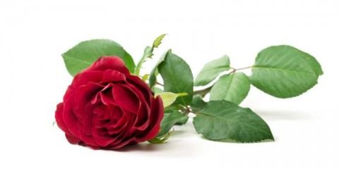 red-rose-isolated-picture-id504131676