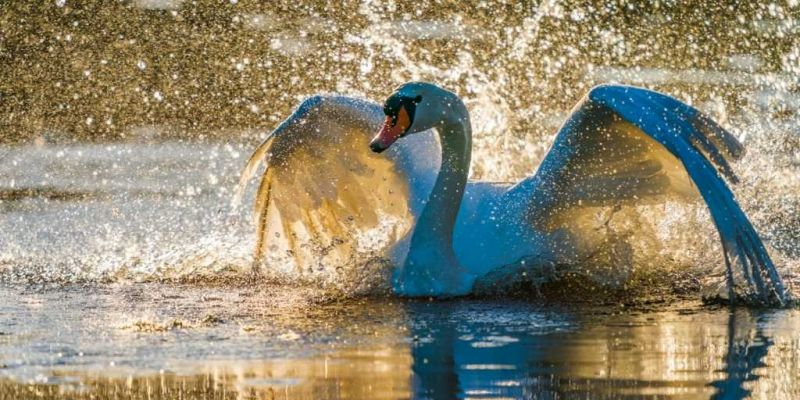 mute-swan-picture-id1217400065