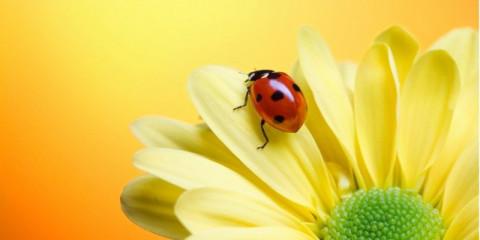 ladybug-on-yellow-flower-