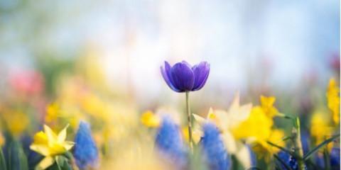 purple-tulips-in-the-garden