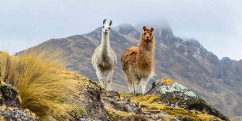 two-llamas-standing-on-a-ridge