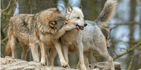 cuddling-wolves