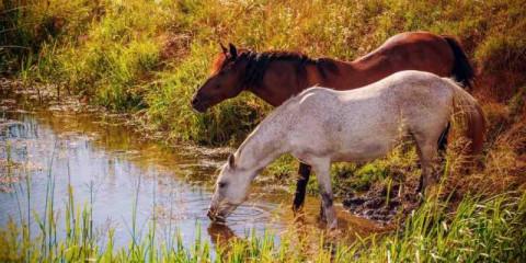 horses_in_stream
